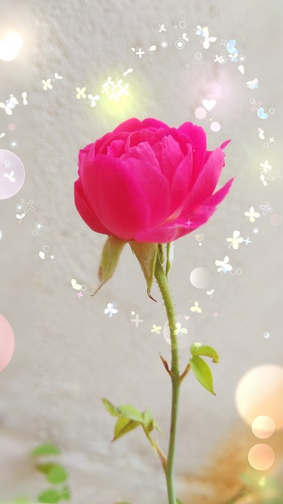 rose dp for whatsapp